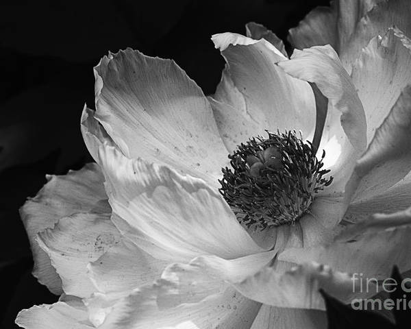 Peony Poster featuring the photograph Peony Glory by Terry Rowe