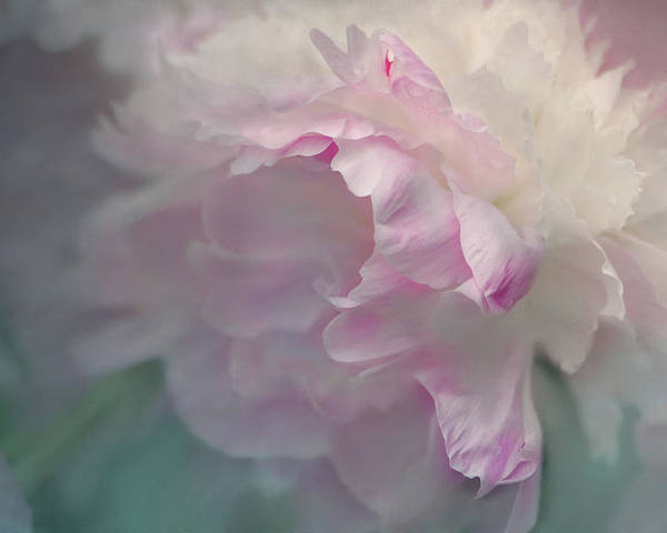 Flower Poster featuring the photograph Peony by Jeff Burgess