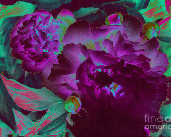Peony Poster featuring the photograph Peony Passion by First Star Art