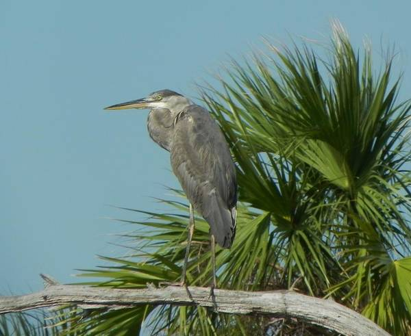 Bird Poster featuring the photograph Perched Heron by Cynthia N Couch
