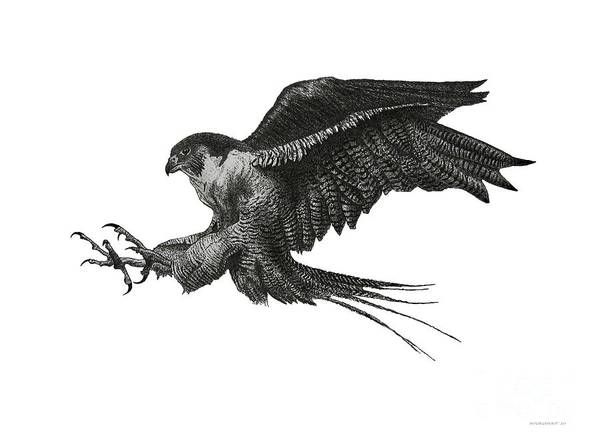Original Poster featuring the drawing Peregrine Hawk Or Falcon Black And White With Pen And Ink Drawing by Mario Perez