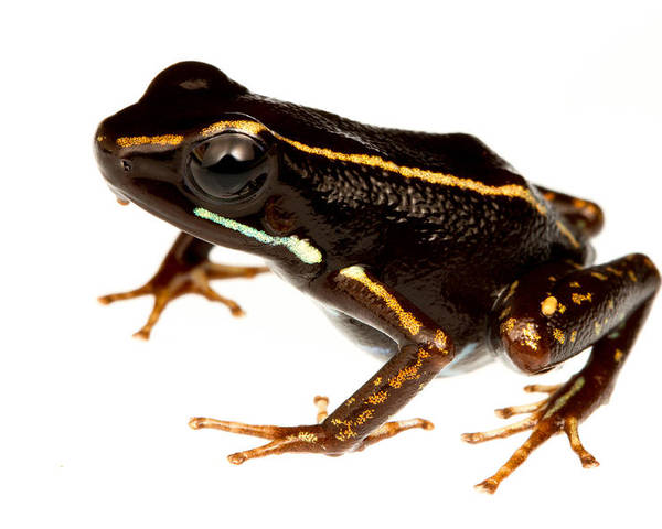 Amphibians Poster featuring the photograph Phyllobates Lugubris by JP Lawrence