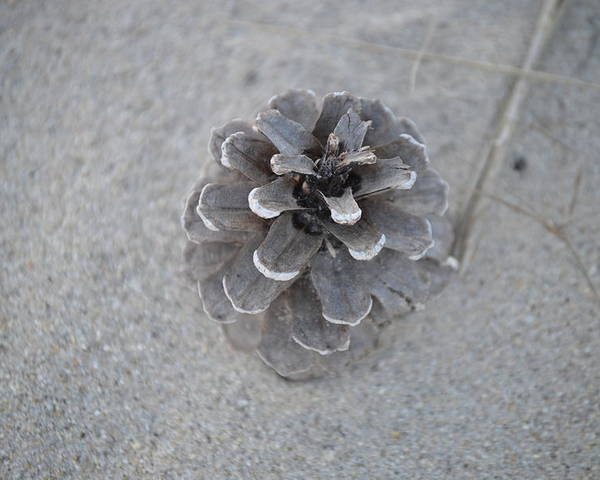 Pine Cone Poster featuring the photograph Pine Cone by Jessica Cruz