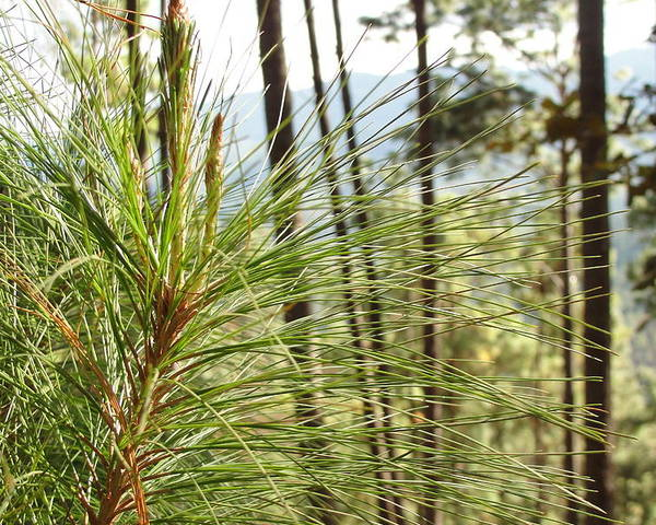 Pine Needles Poster featuring the photograph Pine Needles by Anadelia Rodriguez