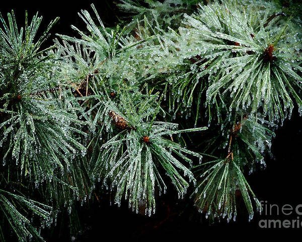 Tree Poster featuring the photograph Pine Needles In Ice by Betty LaRue