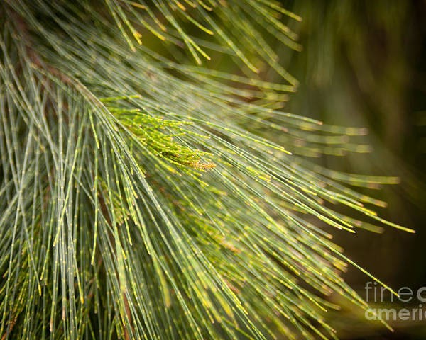 Forest Poster featuring the photograph Pine Tree Needles by Tim Hester