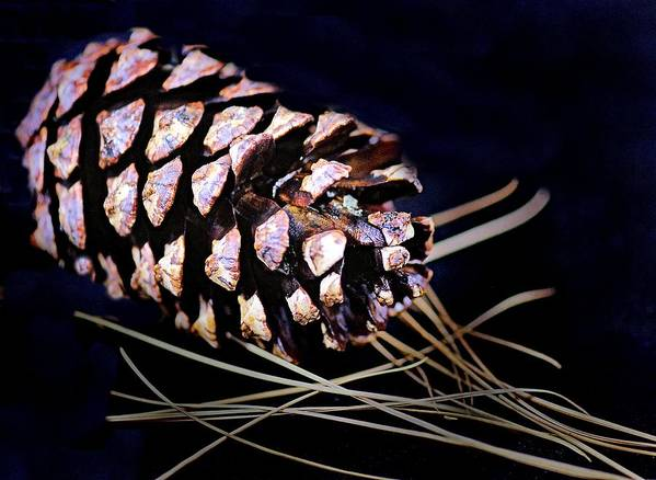 Poster featuring the photograph Pinecone In Black by JAXINE Cummins