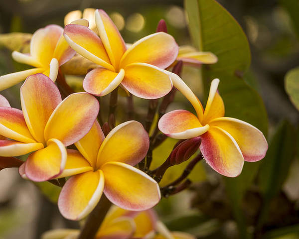 Still Life Poster featuring the Pink And Yellow Plumeria 2 by Brian Harig