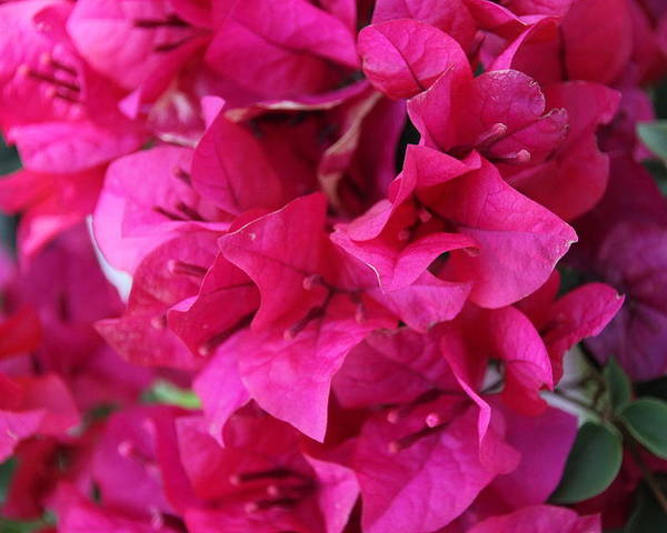 Bougainvillea Poster featuring the photograph Pink Bougainvillea by Becky Canterbury
