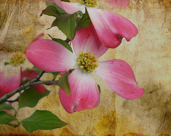 Pink Dogwood Bloom Poster featuring the photograph Pink Dogwood Bloom by Todd Hostetter