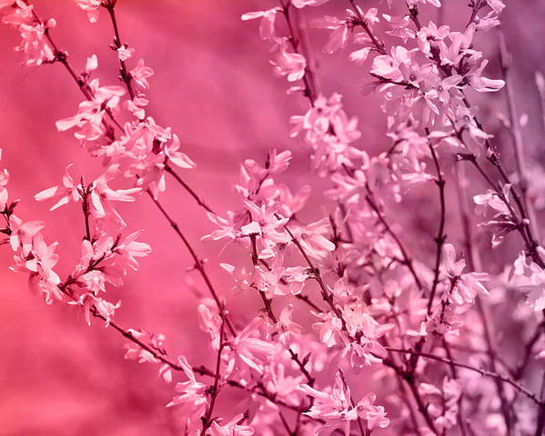 Pink Forsythia Poster By Pati Photography
