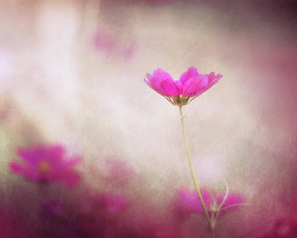 Pink Flowers Poster featuring the photograph Pink Nouveau by Amy Tyler