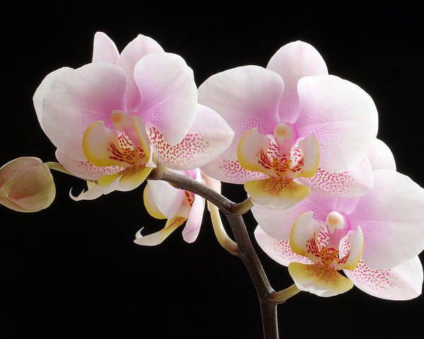Orchid Poster featuring the photograph Pink Sensations by Juergen Roth