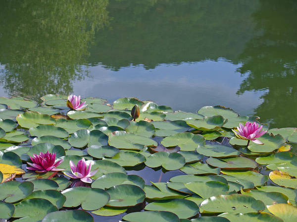 Waterlily Poster featuring the photograph Pink Waterlilies by Karen Kluglein