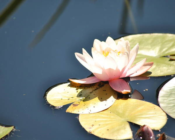 Flower Poster featuring the photograph Pink Waterlily by Paulina Roybal