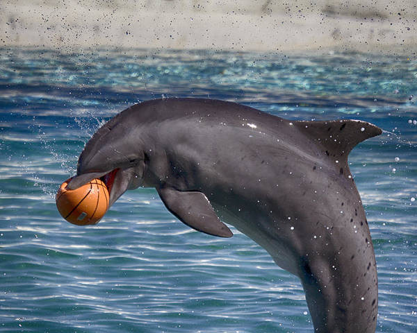 Dolphin Poster featuring the photograph Playful V9 by Douglas Barnard