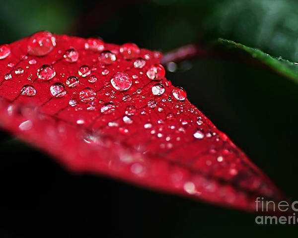 Photography Poster featuring the photograph Poinsettia Leaf With Water Droplets by Kaye Menner