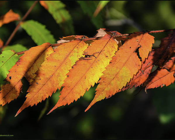 Usa Poster featuring the photograph Poison Sumac Golden Kickoff To Fall Colors by LeeAnn McLaneGoetz McLaneGoetzStudioLLCcom