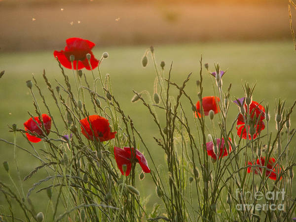 Papaver Poster featuring the photograph Poppies At Sundown by Elizabeth Debenham