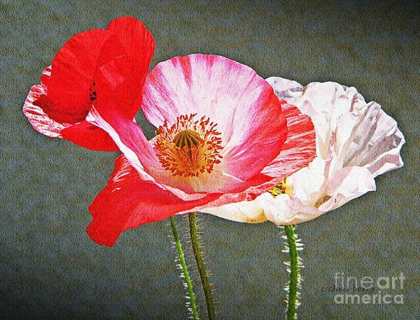 Nature Poster featuring the photograph Poppies by Chris Berry