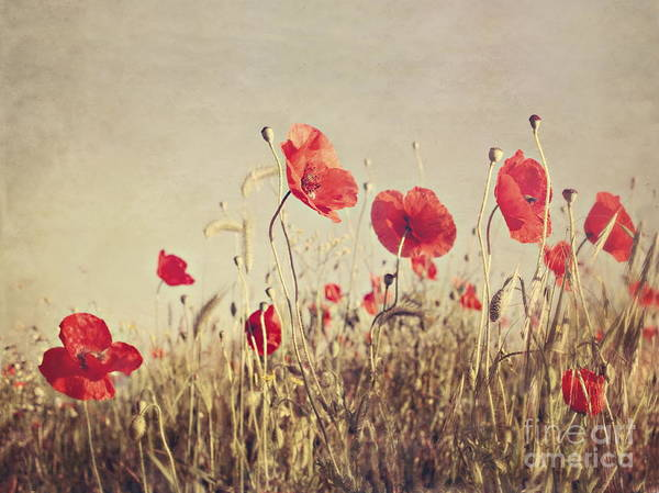 Poppies Poster featuring the photograph Poppies by Diana Kraleva
