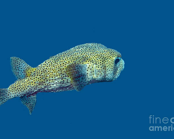 Porcupine Pufferfish Poster featuring the photograph Porcupine Pufferfish by Thomas Major