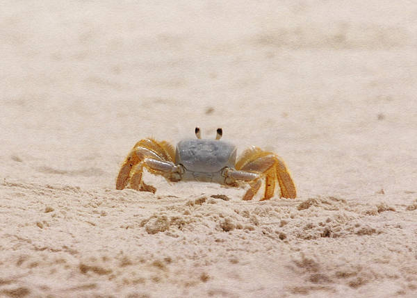 Crab Poster featuring the photograph Portrait Of A Ghost Crab by Judy Hall-Folde