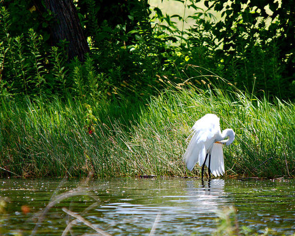 Roy Williams Poster featuring the photograph Preening In Tranquil Sunlight by Roy Williams
