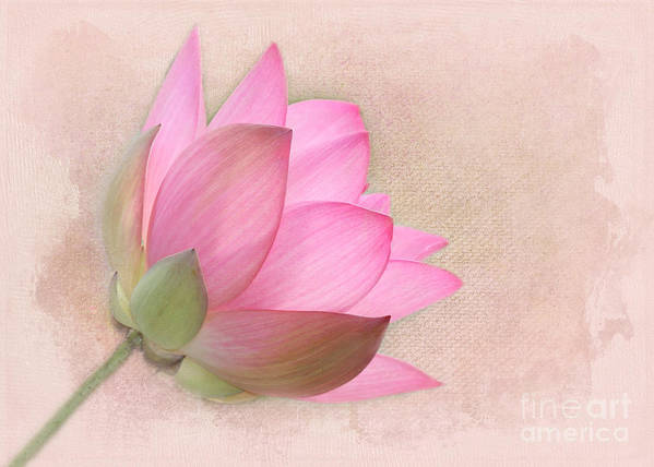 Aquatic Poster featuring the photograph Pretty In Pink Lotus Blossom by Sabrina L Ryan