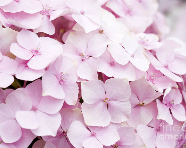 Hydrangea Poster featuring the photograph Pretty In Pink by Patty Colabuono