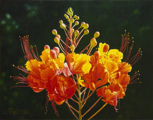 Floral Poster featuring the painting Pride Of Barbados by Gary Hernandez