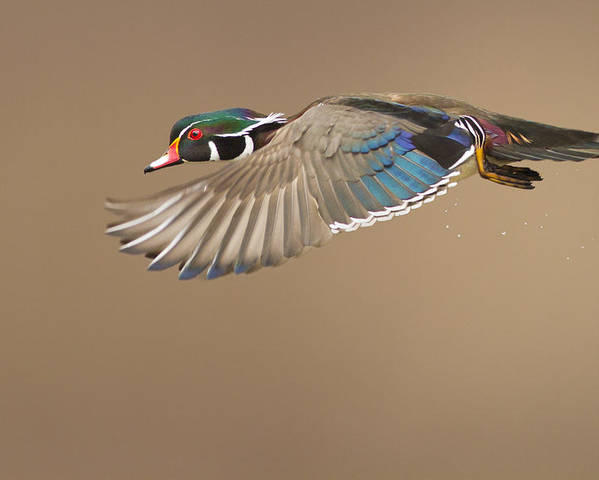 Probably Poster featuring the photograph Probably The Most Beautiful Of All Duck Species by Mircea Costina Photography