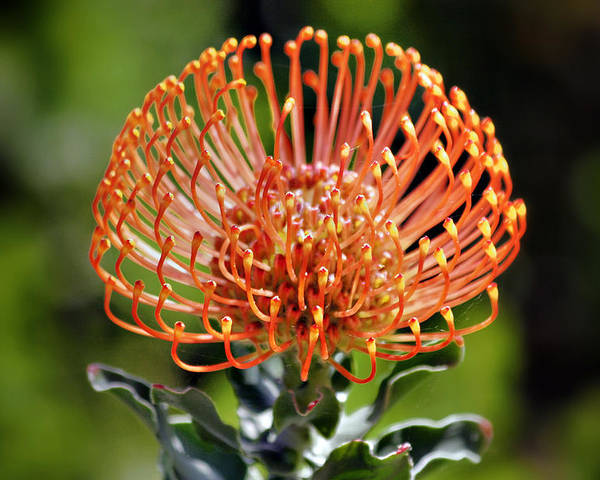 Protea Poster featuring the photograph Protea - One Of The Oldest Flowers On Earth by Christine Till