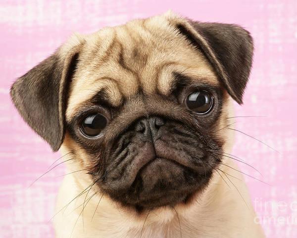 Puppy Poster featuring the digital art Pug Portrait by Greg Cuddiford