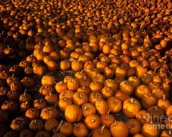 Agriculture Poster featuring the photograph Pumpkins by Ron Sanford