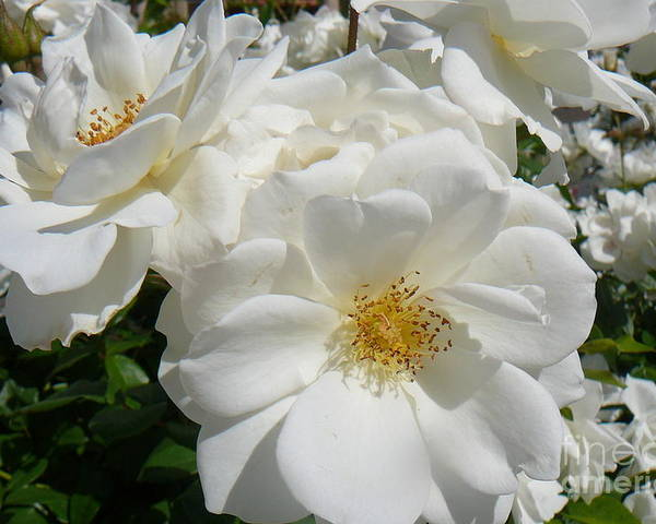 White Roses Poster featuring the photograph Purity by Mary Brhel