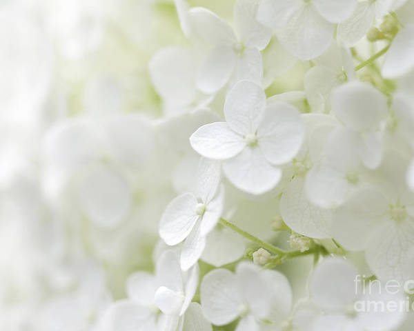 Hydrangea Poster featuring the photograph Purity by Patty Colabuono