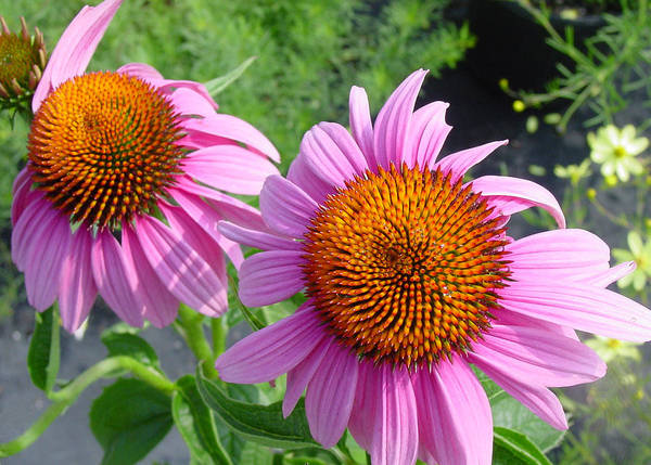 Flower Poster featuring the photograph Purple Coneflowers by Suzanne Gaff