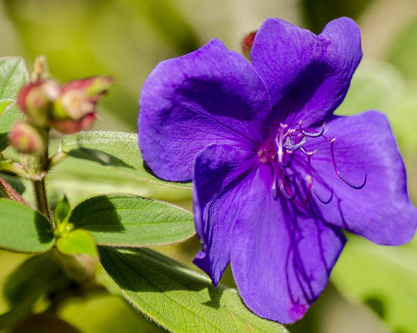 Flower Poster featuring the photograph Purple Flower by Irene Theriau