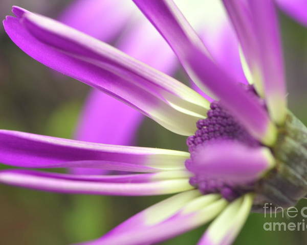 Senetti Poster featuring the photograph Purple Senetti I by Cate Schafer