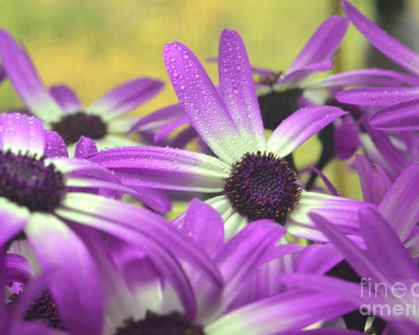 Senetti Poster featuring the photograph Purple Senetti IIi by Cate Schafer
