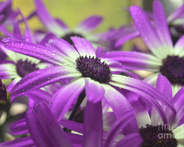 Senetti Poster featuring the photograph Purple Senetti Iv by Cate Schafer