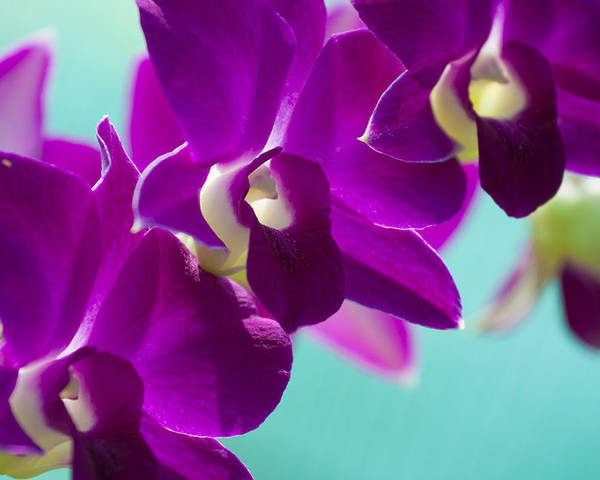 Orchid Poster featuring the photograph Purple Trio - Orchids by Kristina Abramovic