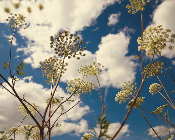 Queen Anne's Lace Poster featuring the photograph Queen Anne Lace And Sky I by Jenny Rainbow