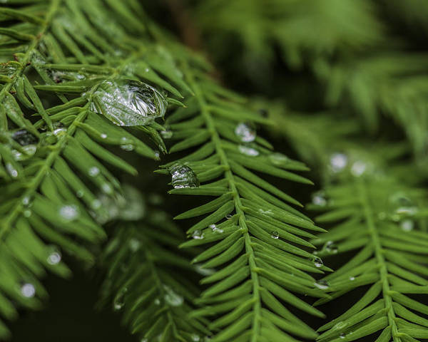 Poster featuring the photograph Rain Drops On Cypress by J Arthur Conway