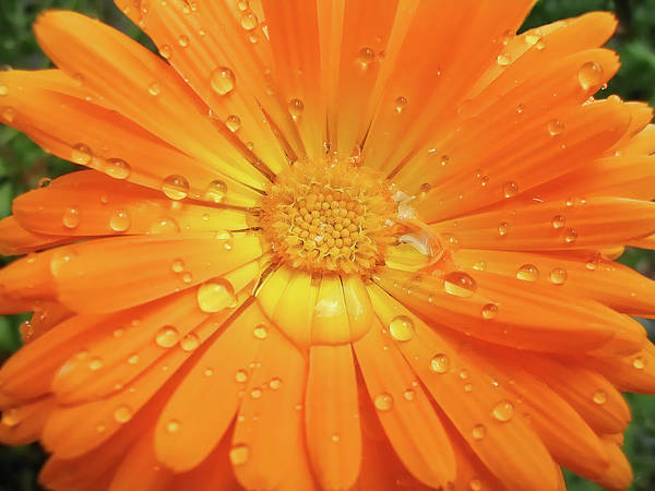 Calendula Poster featuring the photograph Raindrops On Orange Daisy Flower by Jennie Marie Schell