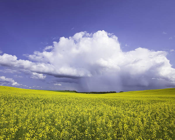 Light Poster featuring the photograph Rainstorm Over Canola Field Crop by Ken Gillespie