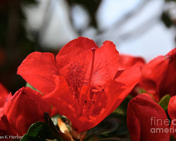 Flower Poster featuring the photograph Red April by Susan Herber