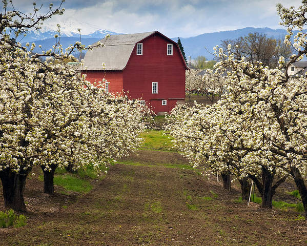 Barn Poster featuring the photograph Red Barn Spring by Mike Dawson