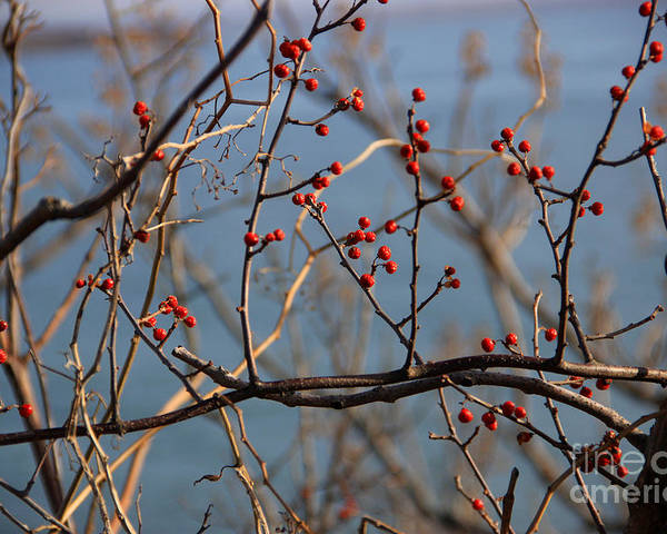 Winter Poster featuring the photograph Red Berries by Michael Mooney